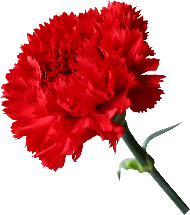 Dianthus Turbo van Rotoflowers